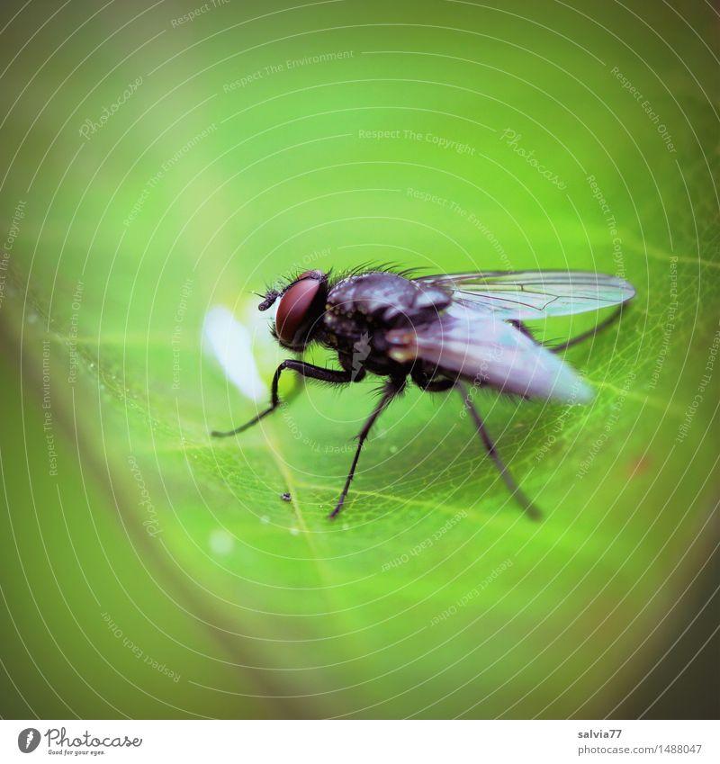 Letzter Tropfen Natur Pflanze grün Blatt Tier klein Wildtier Fliege sitzen Flügel beobachten Insekt Leichtigkeit krabbeln Facettenauge