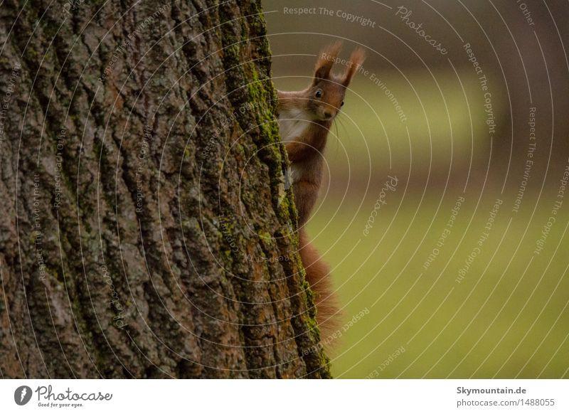 Eichhörnchen Umwelt Natur Landschaft Pflanze Tier Baum Garten Park Wiese Feld Wald Wildtier Tiergesicht Fell 1 braun gelb grau grün orange schwarz weiß