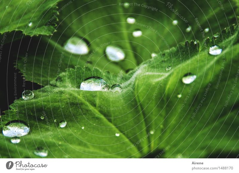 Regenschutz Urelemente Wasser Wassertropfen Frühling Wetter Pflanze Blatt Grünpflanze Frauenmantel Frauenmantelblatt glänzend frisch Gesundheit nass grün weiß