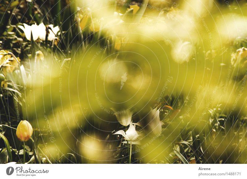 Blick auf den Frühling Wetter Schönes Wetter Blume Tulpe Garten Beet Blumenbeet Blühend natürlich positiv gelb grün weiß Frühlingsgefühle authentisch Beginn