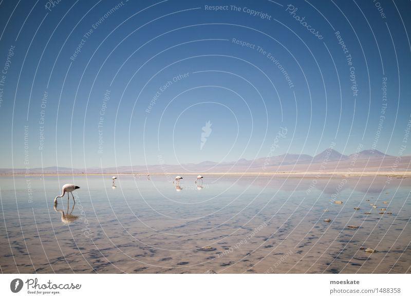 Flamingos Seeufer blau Chile Anden Salar de Atacama Vulkan Himmel Wolkenloser Himmel Farbfoto Gedeckte Farben Außenaufnahme Menschenleer Textfreiraum rechts
