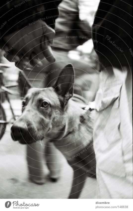 Schäferhund schön Hund Angst Kunst Menschenmenge Panik Tier Kunsthandwerk