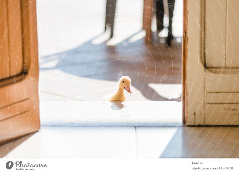 Überraschungsgast Tier Tierjunges gelb lustig klein außergewöhnlich Freundschaft Wohnung Häusliches Leben Freizeit & Hobby Tür offen verrückt niedlich Neugier