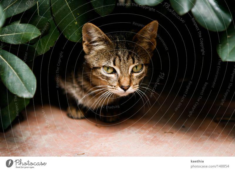 gefahr aus dem gebüsch! ruhig Natur Blatt Katze bedrohlich Säugetier Blick elegant Fell Kontrast Versteck Tiergesicht Pflanze ausgesetzt Spanien braun