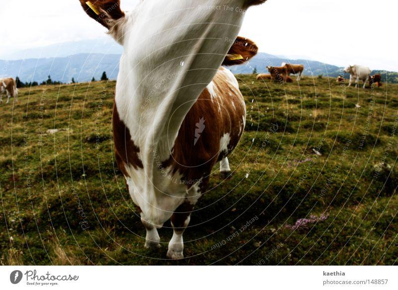 `nen schluck milch? Wasser Himmel grün Wiese Gras Berge u. Gebirge Landschaft Nebel Schweiz Alpen Neugier Landwirtschaft Kuh Weide Bayern Österreich