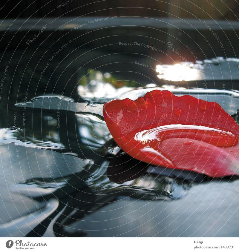 Rosenblütenblatt mit Regentropfen in einer Wasserpfütze nass Wassertropfen fallen Blume Blüte Blütenblatt Rosenblätter blau rot weiß Wetter Garten Pfütze