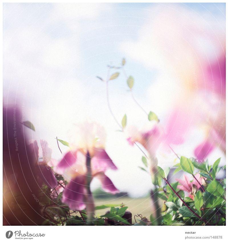 pink noise Himmel blau grün Sonne Sommer Blume Wolken ruhig Haus Wiese Fenster Gras Park Beleuchtung Lilien rosa