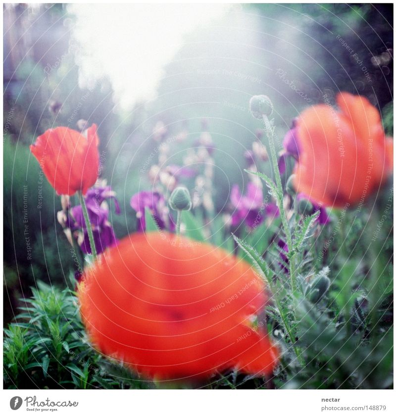 poppy Himmel blau grün rot Sonne Sommer Blume Wolken ruhig Haus Wiese Fenster Gras Garten Beleuchtung rosa