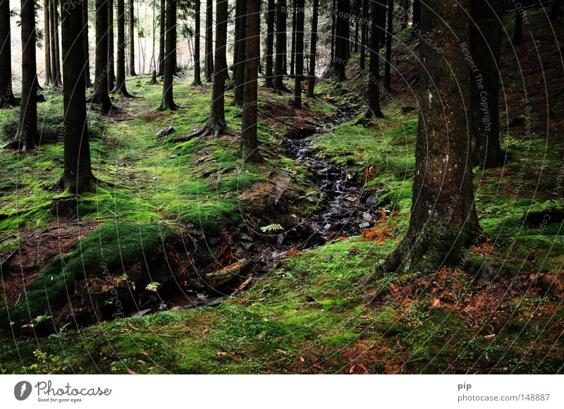 märchenwald Wald Baum Baumstamm Baumrinde Borkenkäfer Tanne Nadelwald Fichte Fichtenwald Schwarzwald dunkel Natur authentisch Moos Flechten feucht nass Bach