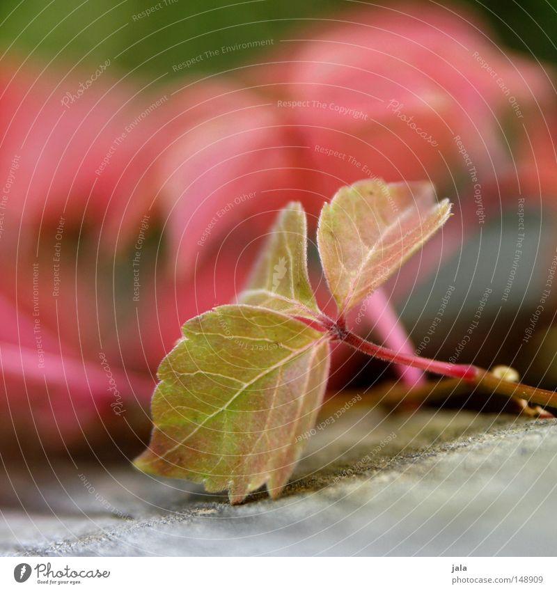 nachzögling Blatt Herbst rot grün Holz Wilder Wein Tiefenschärfe Detailaufnahme Pflanze Stengel Park Vergänglichkeit