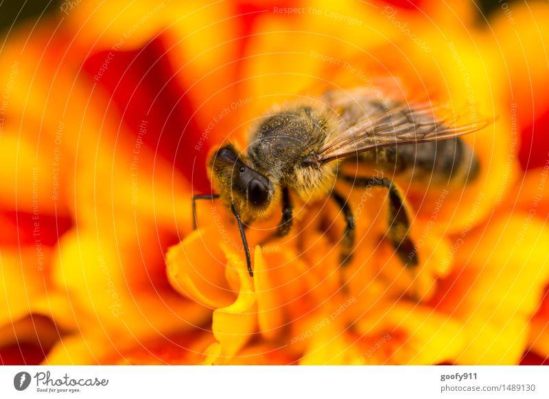 BIENE Umwelt Natur Landschaft Frühling Sommer Schönes Wetter Pflanze Blume Blüte Grünpflanze Garten Park Wiese Tier Nutztier Wildtier Biene Tiergesicht Flügel 1