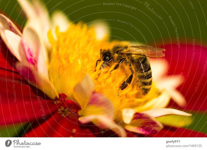 BIENE BEI DER ARBEIT Umwelt Natur Landschaft Sonne Sommer Schönes Wetter Pflanze Blüte Grünpflanze Garten Park Wiese Tier Nutztier Wildtier Biene 1 Fährte