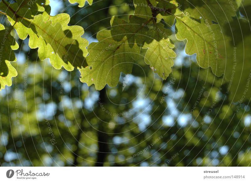 Sommerwald Glück Erholung ruhig Umwelt Natur Pflanze Schönes Wetter Baum Blatt Eiche Wald atmen genießen hängen träumen Wachstum frei frisch hell hoch blau grün