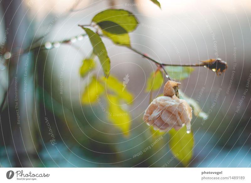The Last Rose Natur Pflanze Wasser Wassertropfen Blume Blatt Blüte Garten nass natürlich grün rosa Gefühle Stimmung Traurigkeit Sorge Trauer Tod Schmerz