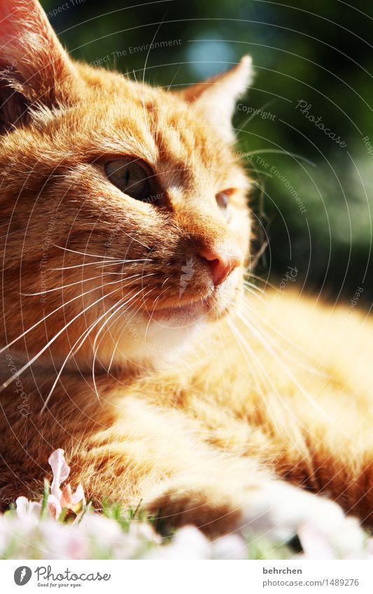 einfach nur sein Katze Natur Pflanze Sommer schön Erholung Tier Frühling Auge Wiese Gras Garten Park liegen beobachten Nase