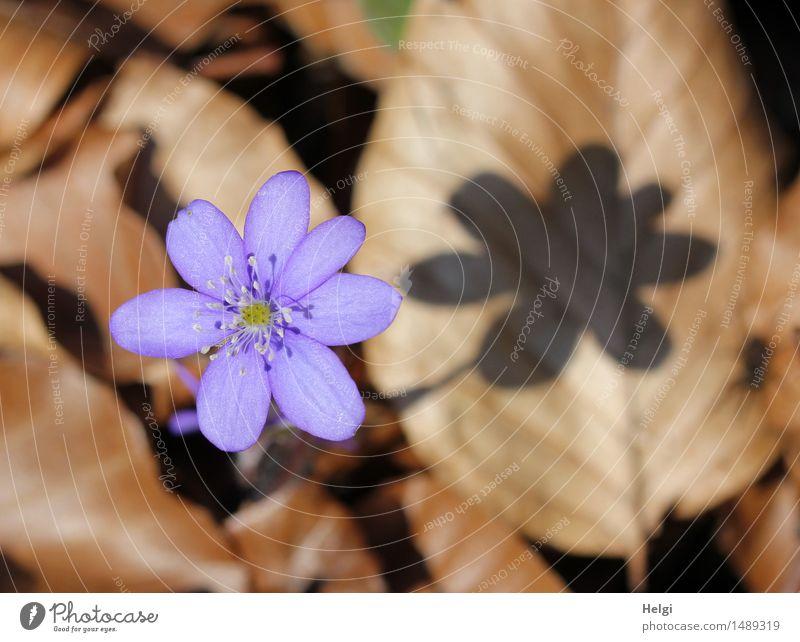 Frühlingsblümchen Umwelt Natur Pflanze Schönes Wetter Blume Blatt Blüte Wildpflanze Leberblümchen Wald Blühend dehydrieren Wachstum ästhetisch außergewöhnlich