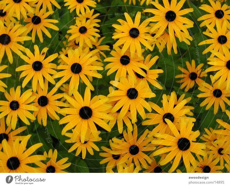 VieleGelbeBlumen Blume Pflanze Sommer gelb Wiese Blüte Blumenwiese