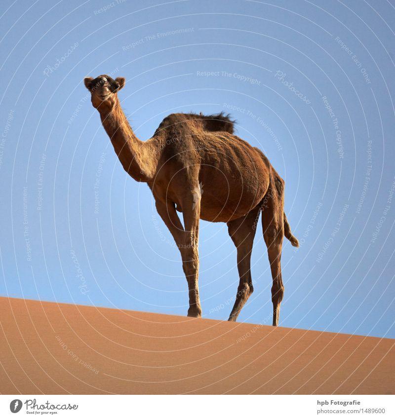 Kamel (Dromedar) Natur Ferien & Urlaub & Reisen blau Sommer Sonne Tier Ferne Wärme braun Sand Tourismus ästhetisch warten beobachten Schönes Wetter Abenteuer