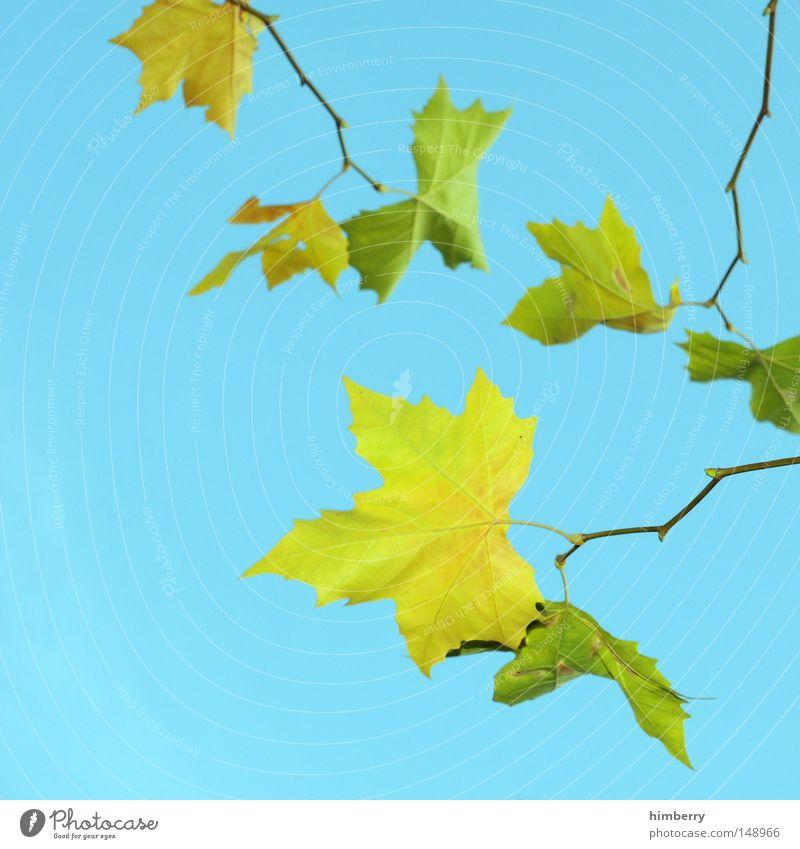 blattmatt Natur Himmel Baum grün Sommer Blatt gelb Farbe Herbst Frühling Hintergrundbild gold Kitsch Vergänglichkeit Herbstlaub