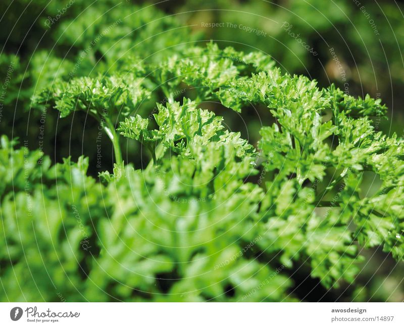 Petersilie grün Gesundheit Vitamin Kräuter & Gewürze