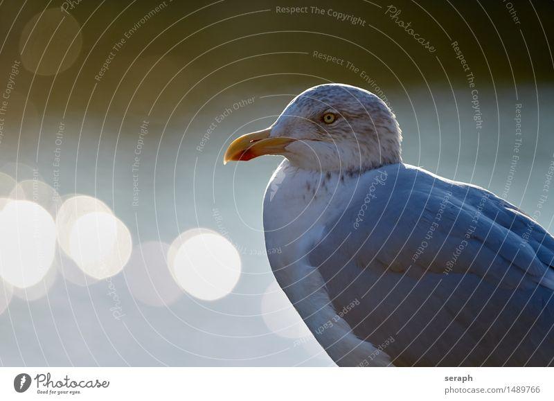 Silbermöwe Möwe Vogel Tier Möwenvögel Nordsee Tierporträt Flügel Auge Schnabel Greifvogel Feder Blick Wildtier Natur Schwache Tiefenschärfe Gegenlicht
