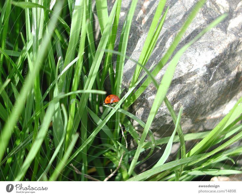Marienkäfer Gras Insekt rot grün Käfer Natur Punkt