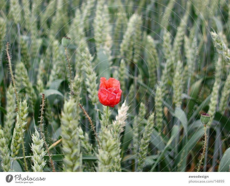 Mohnblume im Kornfeld rot Sommer Blüte Feld Getreide Weizen Ähren