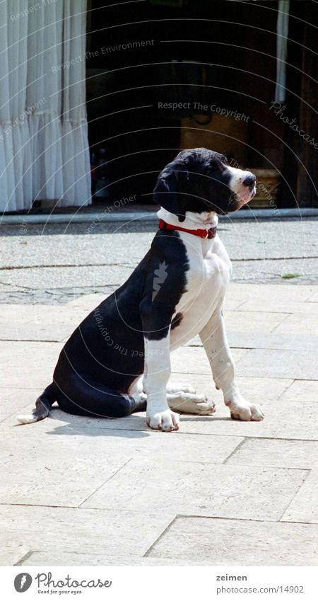 Doggenwelpe Afra weiß schwarz Tier Spielen Hund groß Ackerbau Haustier Welpe scheckig Züchter Rassehund
