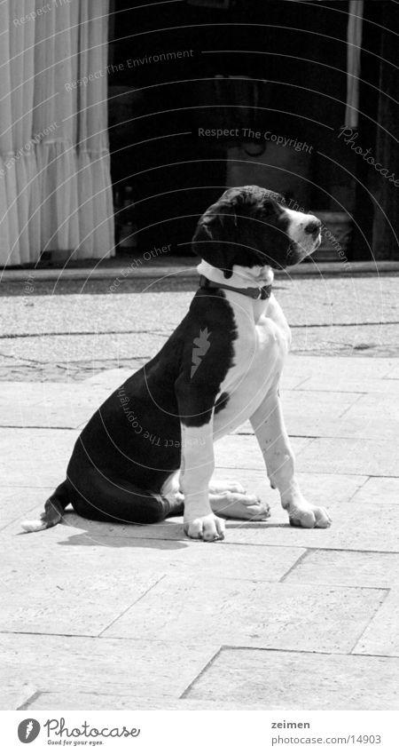 Doggenwelpe Afra weiß schwarz Tier Spielen Hund groß Ackerbau Haustier Welpe scheckig Dogge Züchter Rassehund