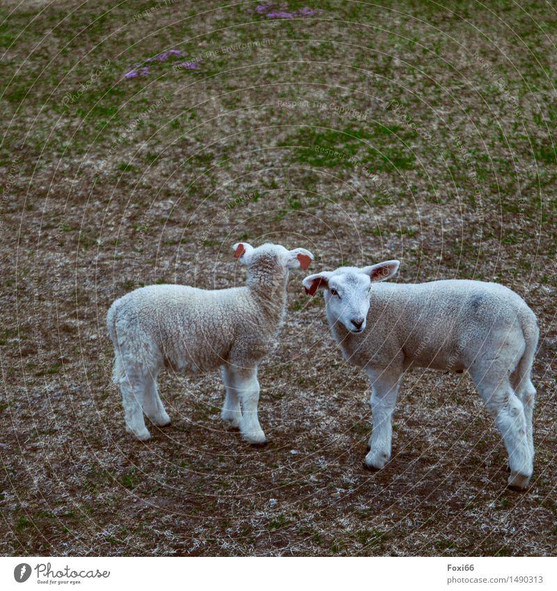 ich sehe etwas, was du nicht siehst Natur Erde Blume Flechten Wiese Feld Nutztier Schaf Osterlamm 2 Tier Tierpaar Schriftzeichen Zusammensein lustig niedlich