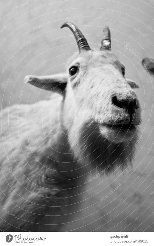 Kein Bock Schaf Tier Haustier weiß Fell Horn Nase dumm Ohr Nüstern Blick Tiergesicht Säugetier Fischauge blick in kamera schnautze