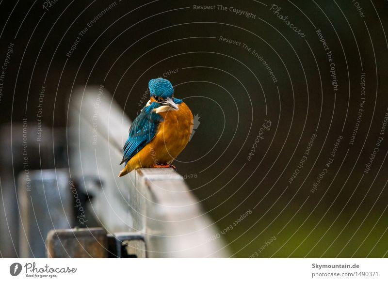Eisvogel auf Geländer Umwelt Natur Landschaft Pflanze Tier Klima Wetter Schönes Wetter schlechtes Wetter Seeufer Flussufer Moor Sumpf Teich Bach Stadt Wildtier