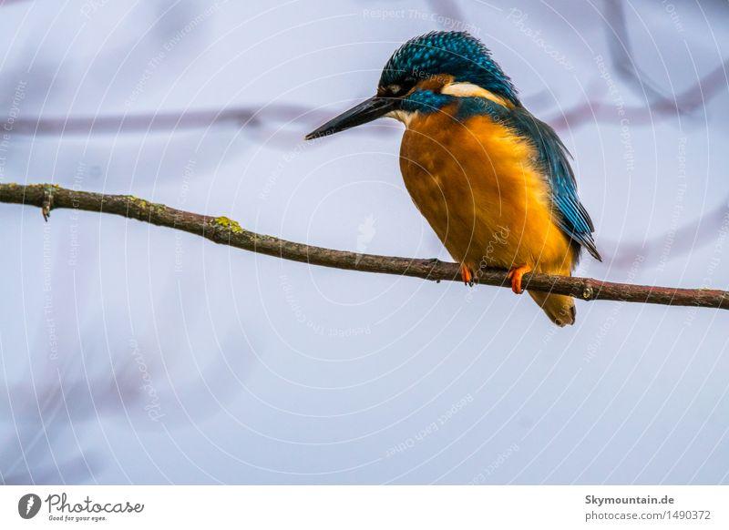 Eisvogel schaut nach links Natur blau Tier Winter Strand schwarz Umwelt Herbst Frühling Küste grau See braun Vogel orange Wetter