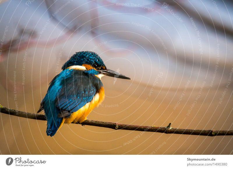 Eisvogel - Kingfisher - martin-pêcheur Natur Pflanze blau grün Baum Sonne Tier Strand Umwelt gelb See Vogel orange Wetter Wildtier Flügel