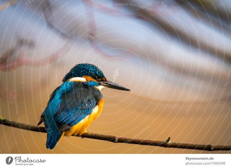 Eisvogel im Sonnenuntergang Umwelt Natur Landschaft Pflanze Tier Sonnenaufgang Frühling Winter Baum Garten Wiese Wald Seeufer Flussufer Teich Bach Vogel