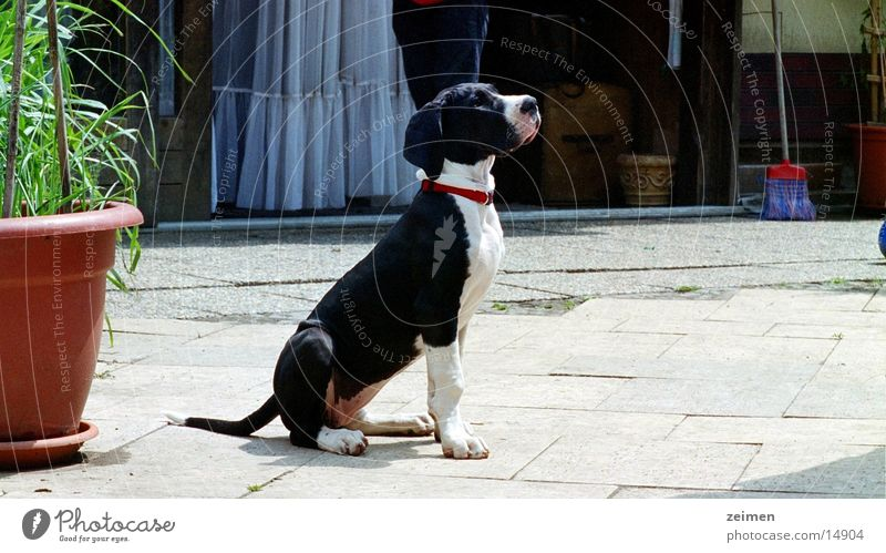 Doggenwelpe Afra weiß schwarz Tier Spielen Hund groß Ackerbau Haustier Welpe scheckig Landwirtschaft Dogge Züchter Rassehund