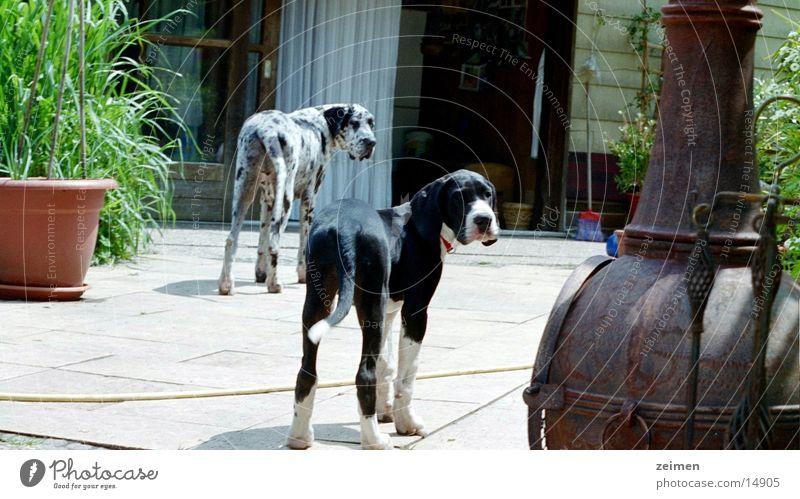 Doggenwelpe Afra weiß schwarz Tier Spielen Hund Freundschaft groß Ackerbau Haustier Welpe scheckig Dogge Züchter Rassehund
