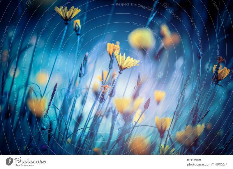 ... somewhere else II ... elegant Stil Design Natur Landschaft Herbst Blume Blüte Wildpflanze Huflattich Korbblütengewächs Blütenpflanze Feld Lichterscheinung
