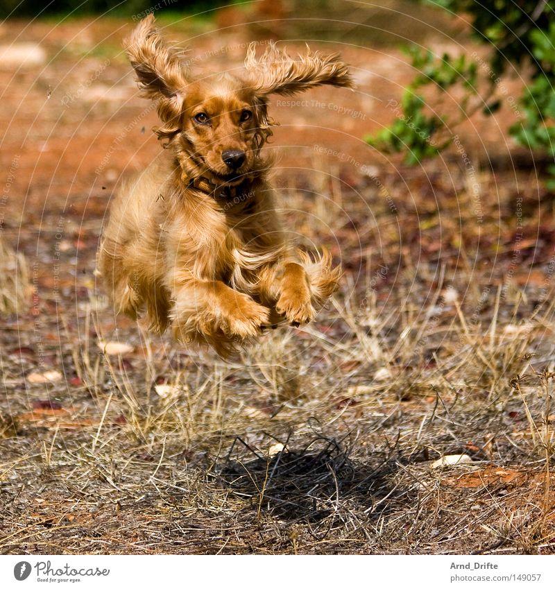 Flieg nicht so hoch, mein kleiner Freund Hund Ferien & Urlaub & Reisen Sommer Freude gelb Auge Wiese Spielen Glück springen Beine Park braun Feld laufen fliegen