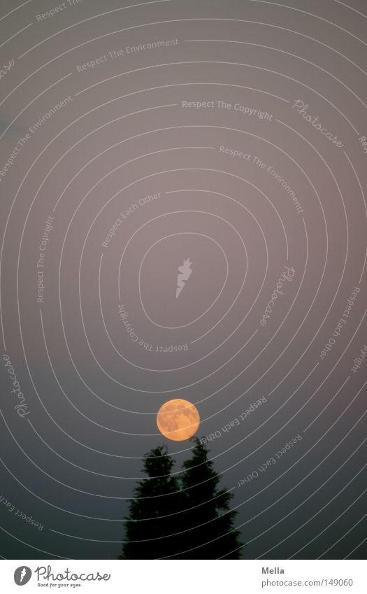 Moonday Mond Vollmond Abend Dämmerung Baum Tanne Halterung festhalten Kugel Strukturen & Formen Beleuchtung orange aufgehen Himmel dunkel