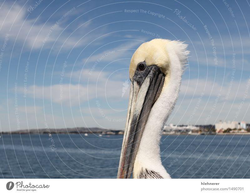 San Diego Pelikan Körper Ferien & Urlaub & Reisen Meer Fuß Umwelt Natur Tier Himmel Küste Stadt Skyline Hafen Gebäude Architektur Jachthafen Vogel stehen groß