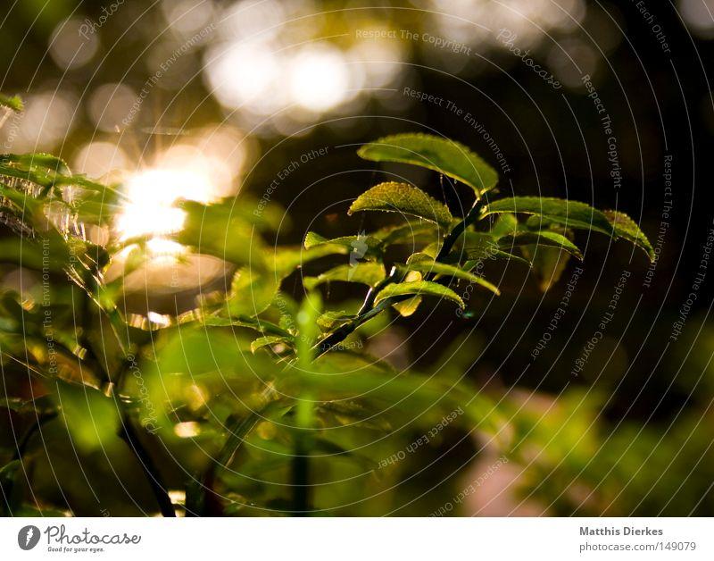 Morgens Blume Pflanze Gegenlicht Waldboden Sträucher Botanik Natur glänzend Sonne Sonnenlicht Unschärfe grün Herbst herbstlich Beleuchtung Lichtpunkt Tau