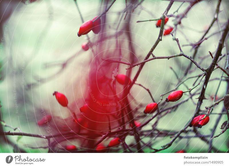 feuer hagebutte Umwelt Natur Pflanze Herbst Winter Sträucher Hundsrose Samen Feld leuchten verblüht dehydrieren kalt stachelig rot Lebensfreude Tapferkeit