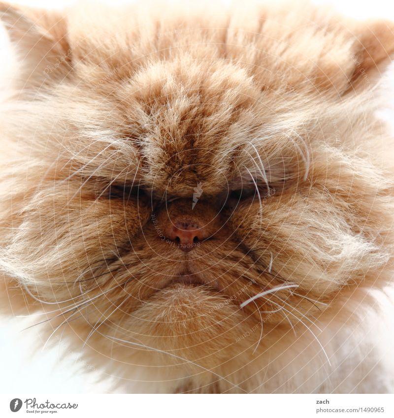 comic | Garfield Tier Haustier Katze Tiergesicht Fell 1 Fressen füttern Coolness hässlich kuschlig braun Trägheit bequem Völlerei gefräßig dick Fett Hauskatze