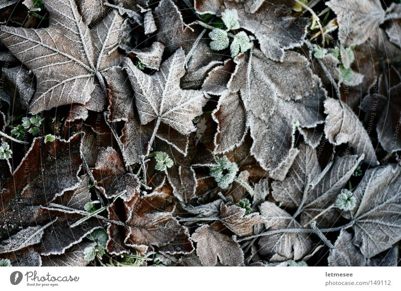 Frozen Leafs weiß grün Baum Blatt Wiese kalt Schnee Herbst Eis Frost Ahorn Buche Eicheln