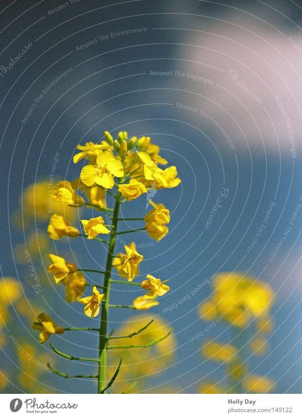 Raps, Raps, was hast du vor? Natur Himmel weiß blau Pflanze Sommer Wolken gelb Leben Blüte Kraft Feld hoch Fröhlichkeit Wachstum Kitsch