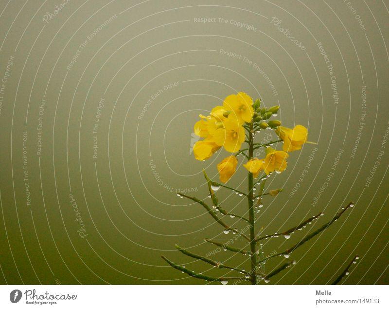 Trübtauber Hain am Musenginst* grün gelb grau Feld Nebel Wassertropfen nass trist feucht Raps trüb