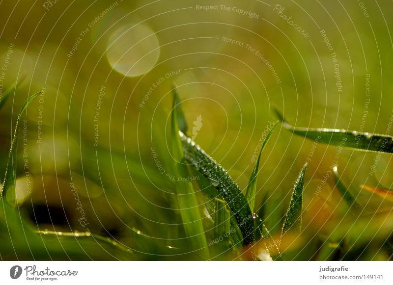 Gras grün Wiese Wassertropfen Tau nass Morgen Natur Wachstum Umwelt Pflanze frisch saftig Farbe