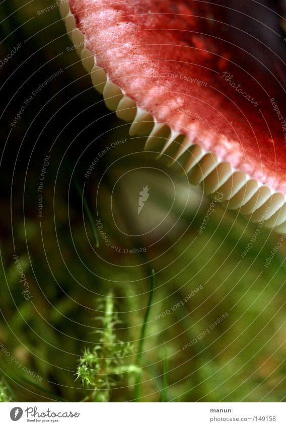 Rotschopf weiß rot grün Waldboden Herbst September feucht Pilz Lamelle Nahaufnahme manun Sommer