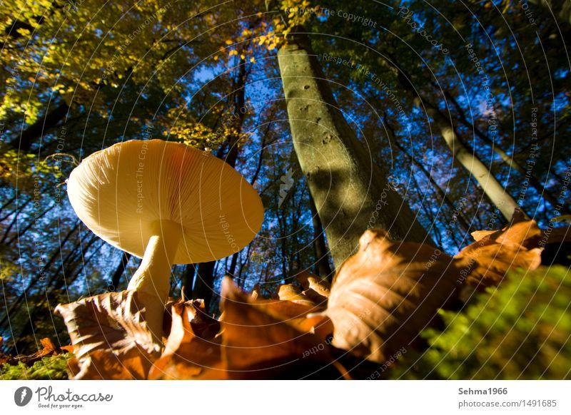 Pilz von unten, vom herbstllichen Wald umgeben Umwelt Natur Landschaft Tier Wolkenloser Himmel Herbst Schönes Wetter Pflanze Baum Gras Sträucher Moos Wiese blau